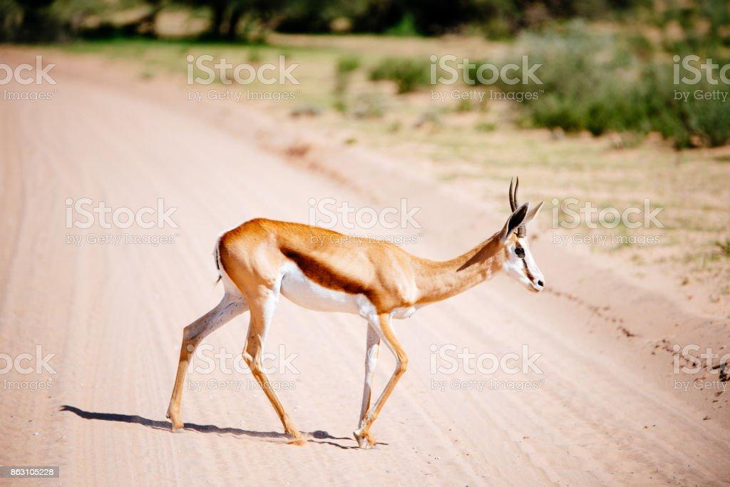 Springbok crosses the road stock photo