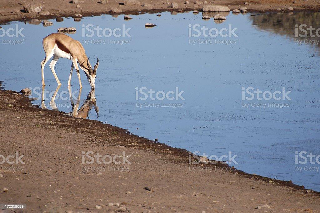 Springbok Drinking royalty-free stock photo