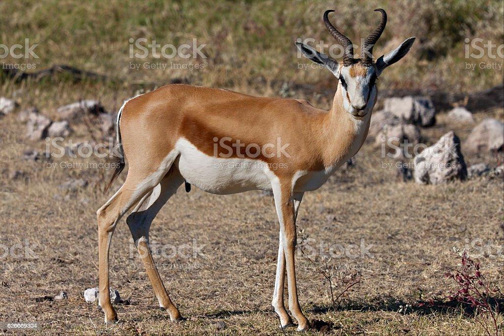 Springbok - Etosha National Park - Namibia stock photo