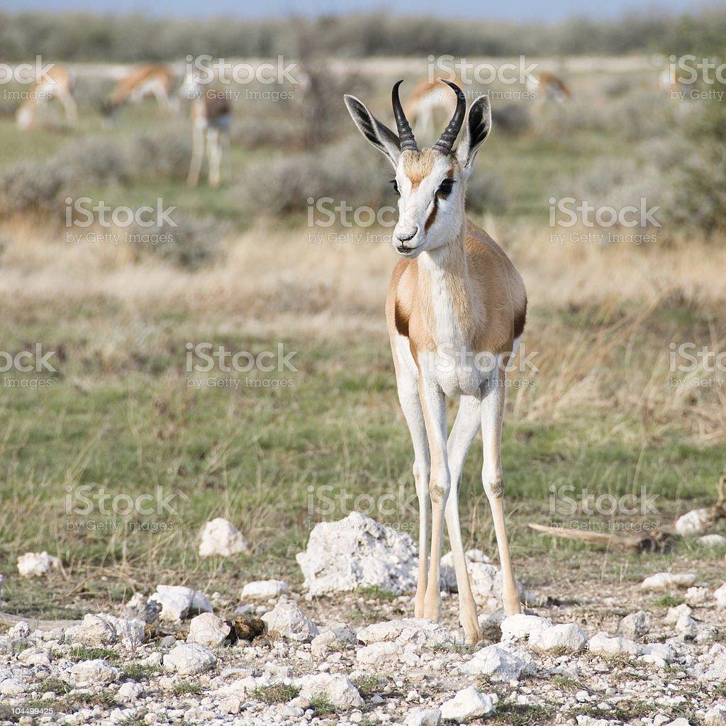 Springbok front view stock photo
