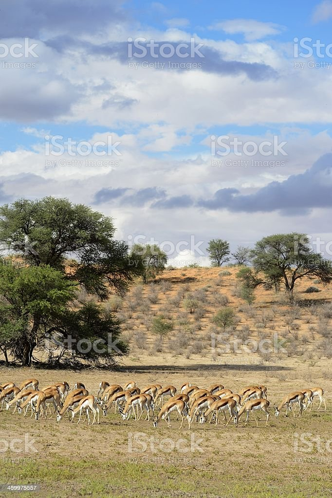 Springbok grazing against stormy backdrop stock photo