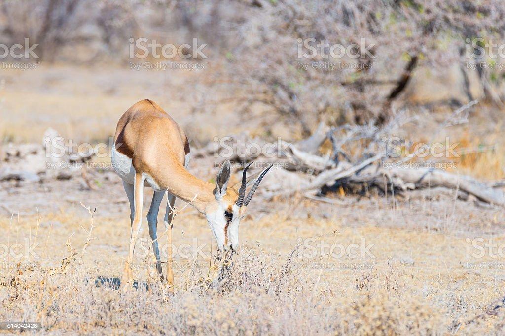 Springbok grazing in Etosha National Park, Namibia stock photo