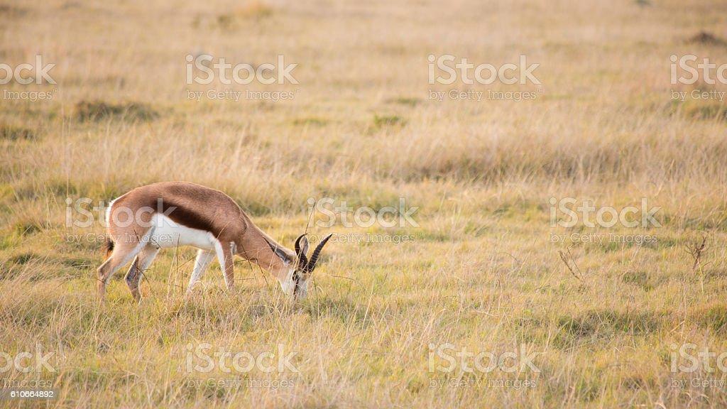Springbok grazing in long grass stock photo