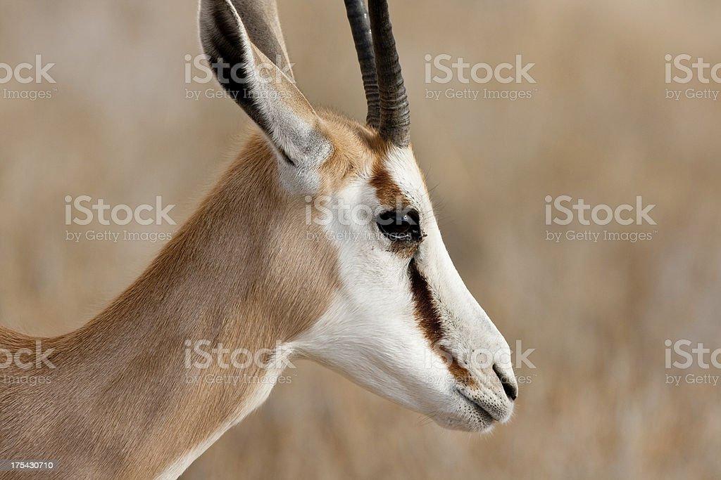 springbok head stock photo
