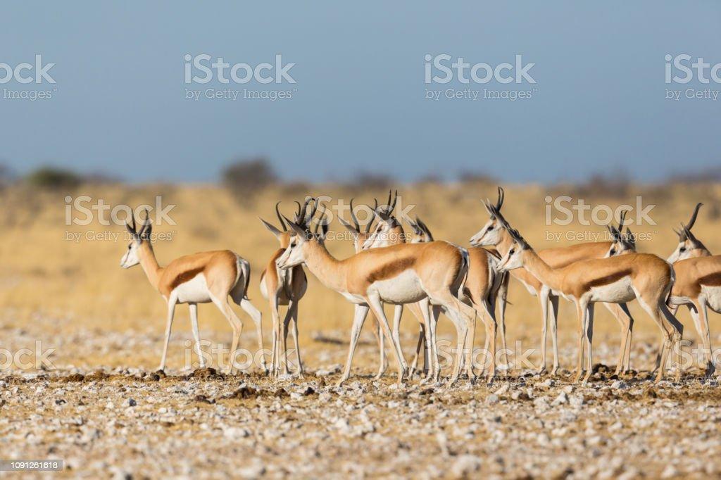 Springbok Herde (Antidorcas Marsupialis) stehen in Savannen im Sonnenschein – Foto