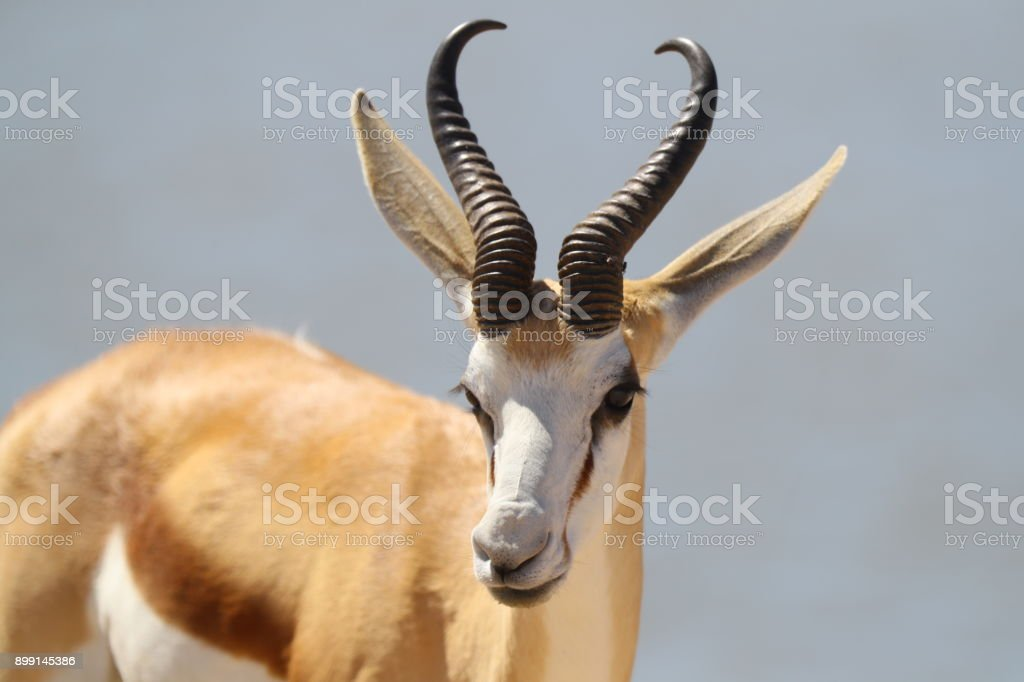 Springbok in Etosha National Park stock photo