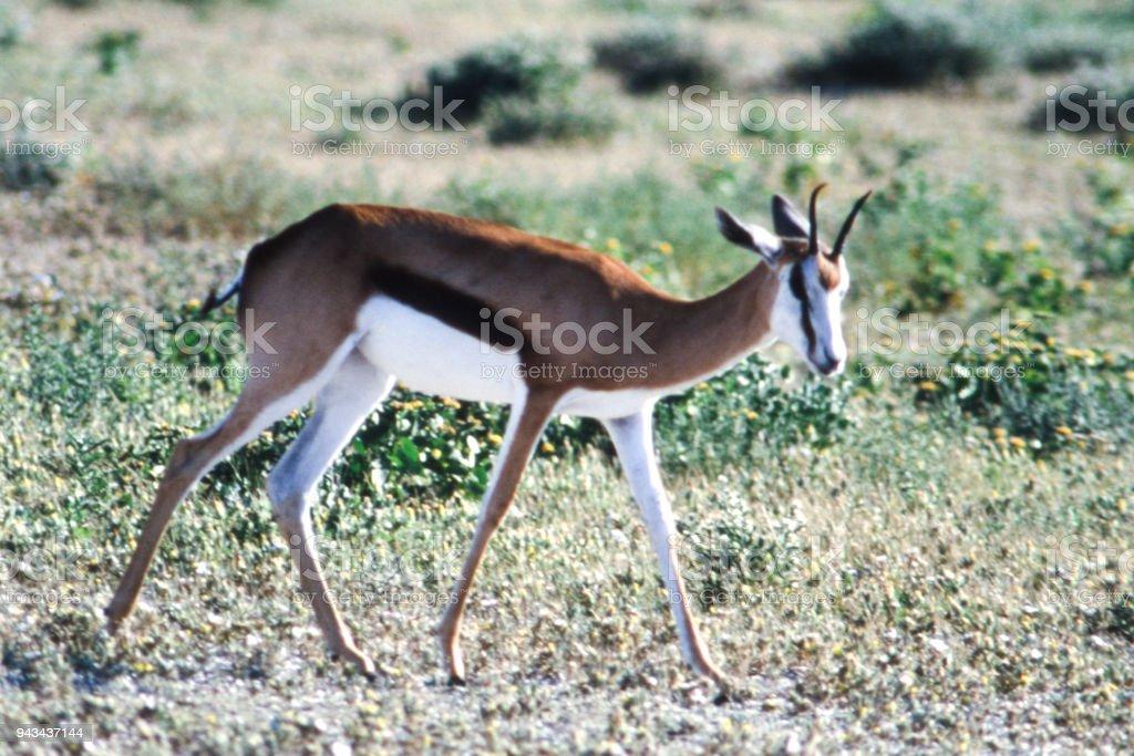 Springbok in Etosha stock photo