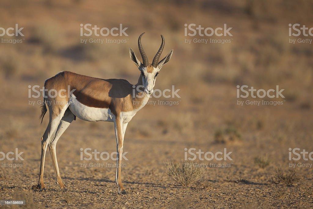 Springbok in Kalahari sunrise light royalty-free stock photo