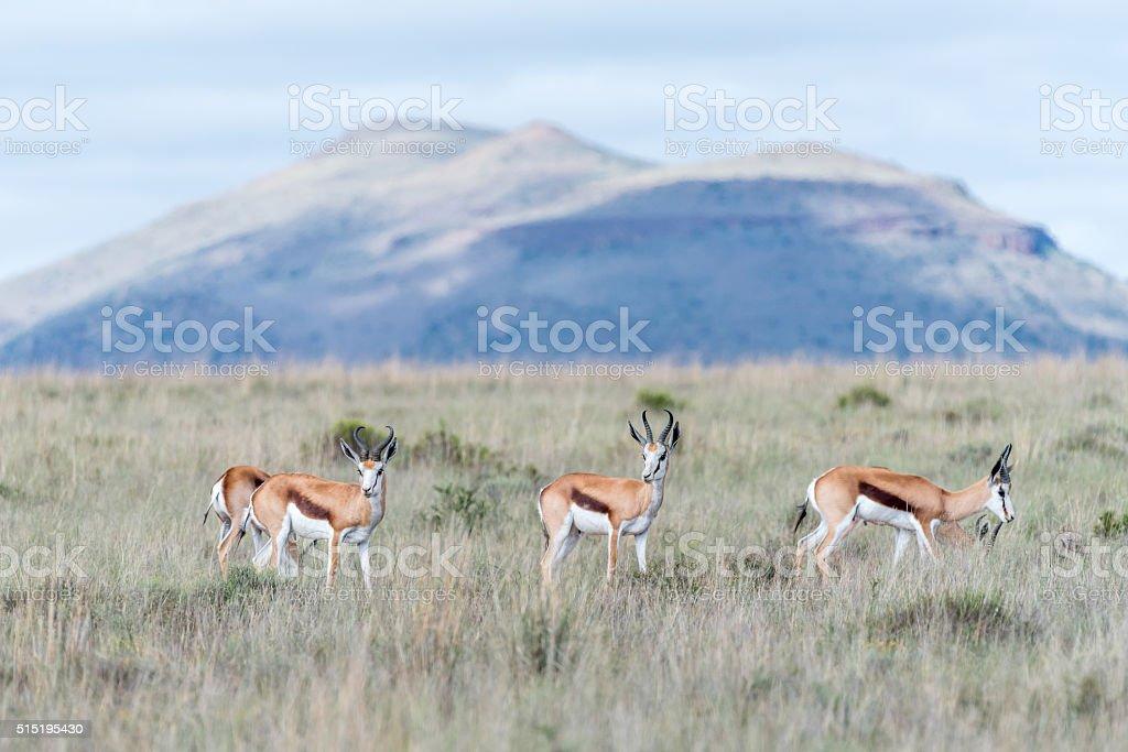 Springbok in the Mountain Zebra National Park stock photo