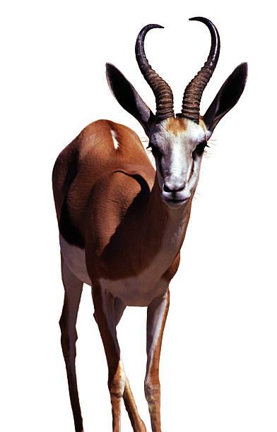 springbok, isolated on white - antilope stockfoto's en -beelden