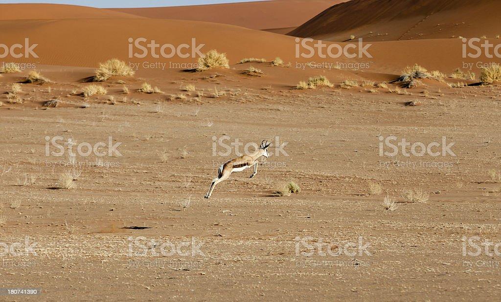 Springbok leaps in the desert stock photo