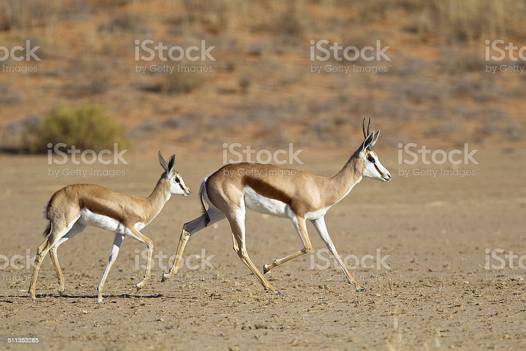Springbok mother and fawn trotting stock photo