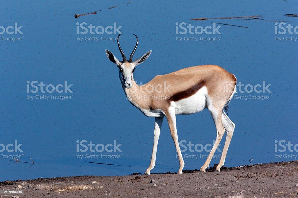 Springbok - Namibia stock photo