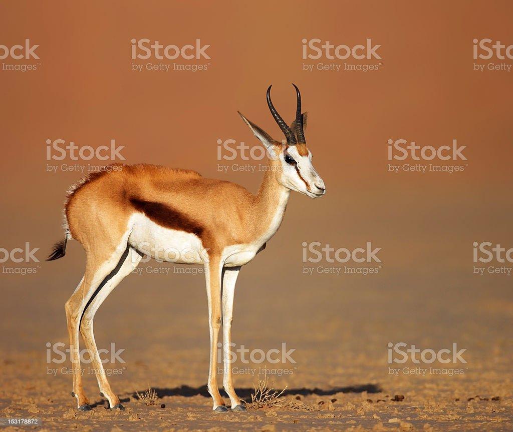 springbok on sandy desert plains stock photo
