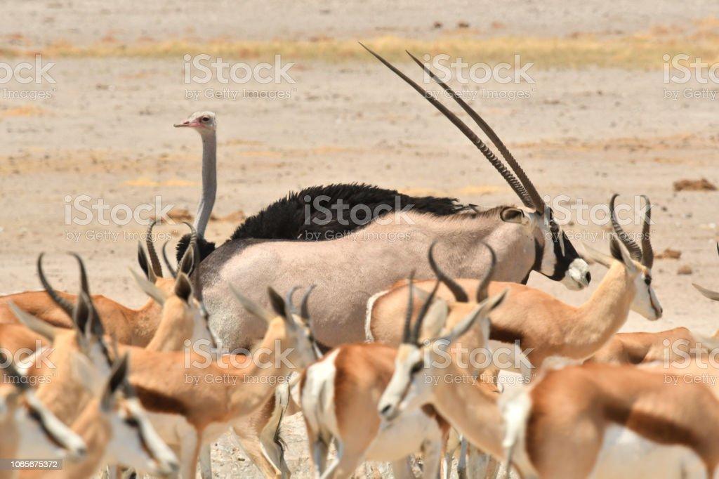 Springbok, Oryx e avestruz - foto de acervo