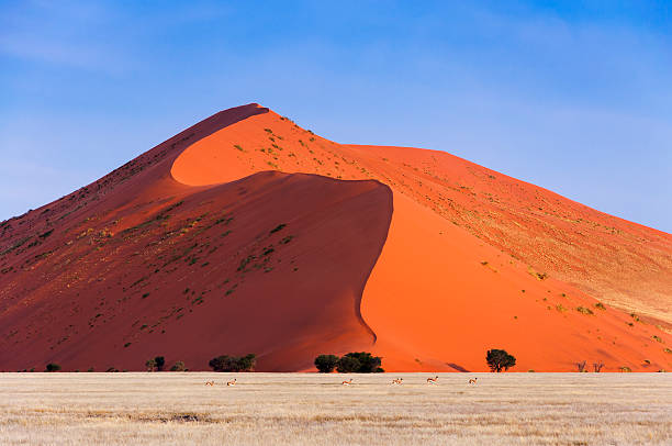 Springbok passing in front of a red dune in Sossusvlei stock photo