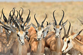 Springbok stand beneath a tree for shade in Southern Africa