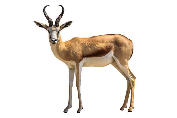 Springbok stock photo