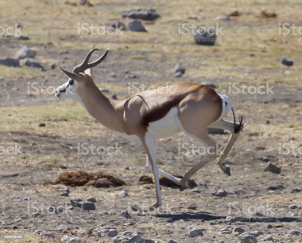 Springbok royalty-free stock photo