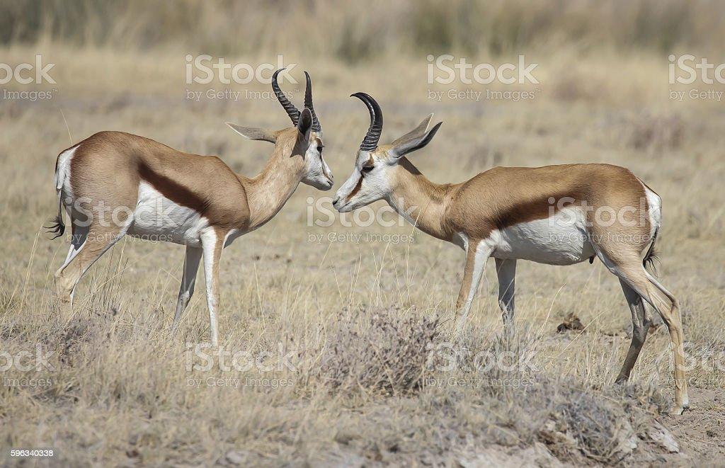Springbok royalty-free stock photo