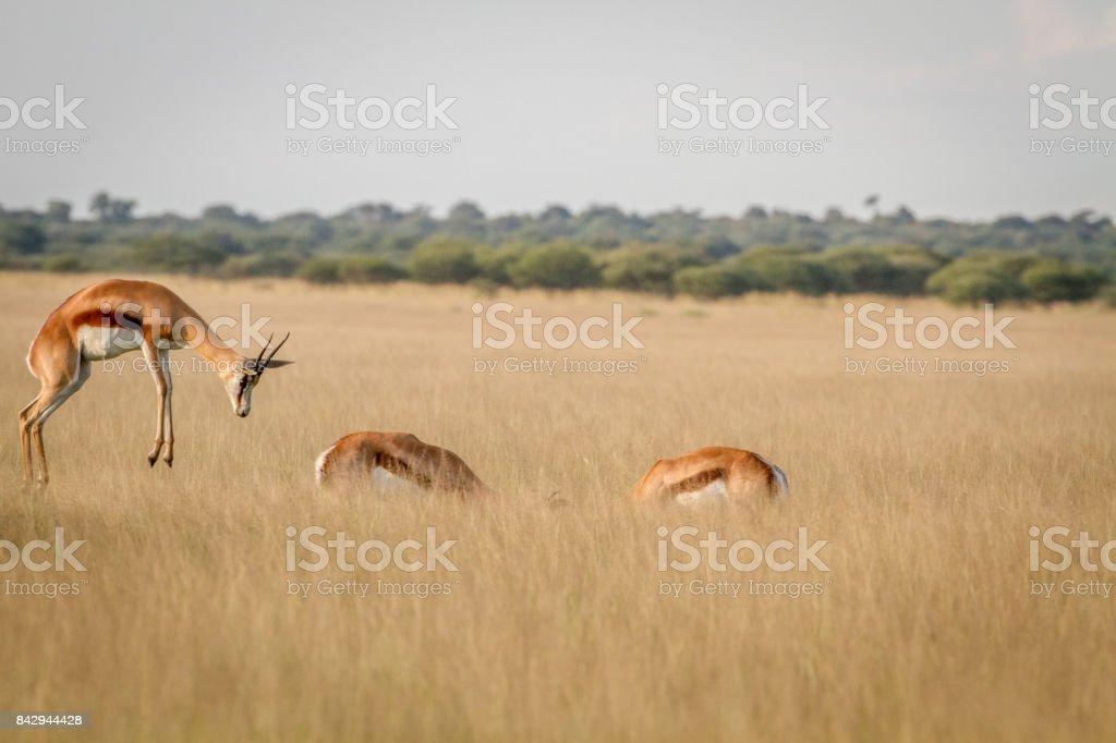 Springbok pronking in the grass. stock photo