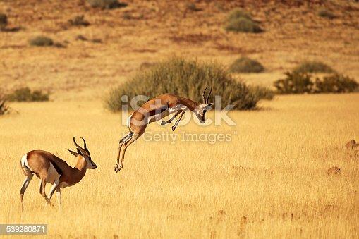 Springbok in action. Namibia, Africa.