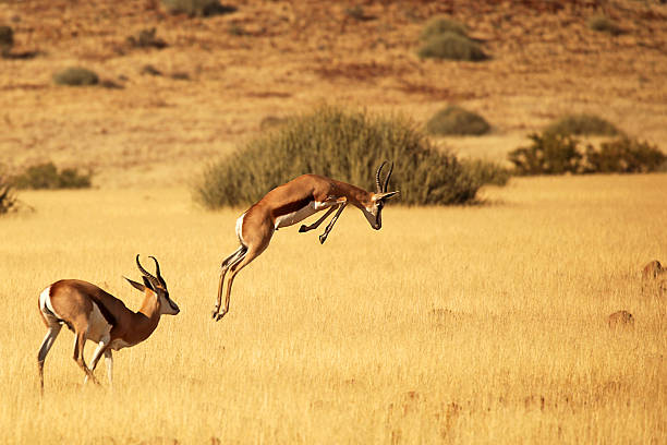 Springbok Running and Jumping - on Safari in Africa stock photo