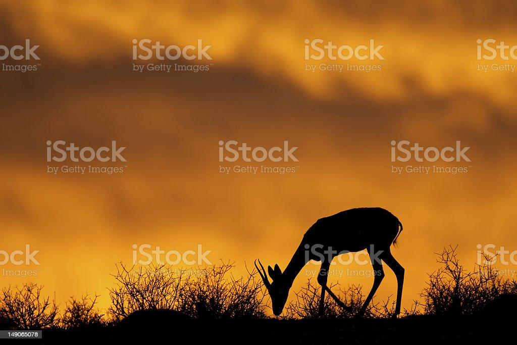 Springbock silhouette – Foto