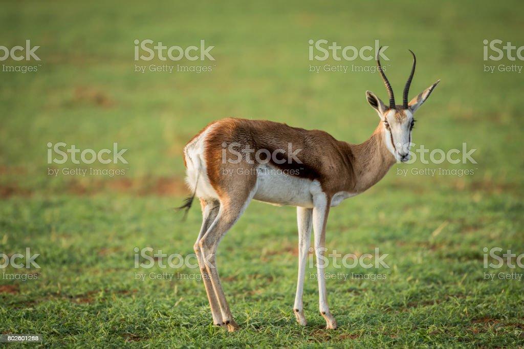 Springbok standing in the grass. stock photo