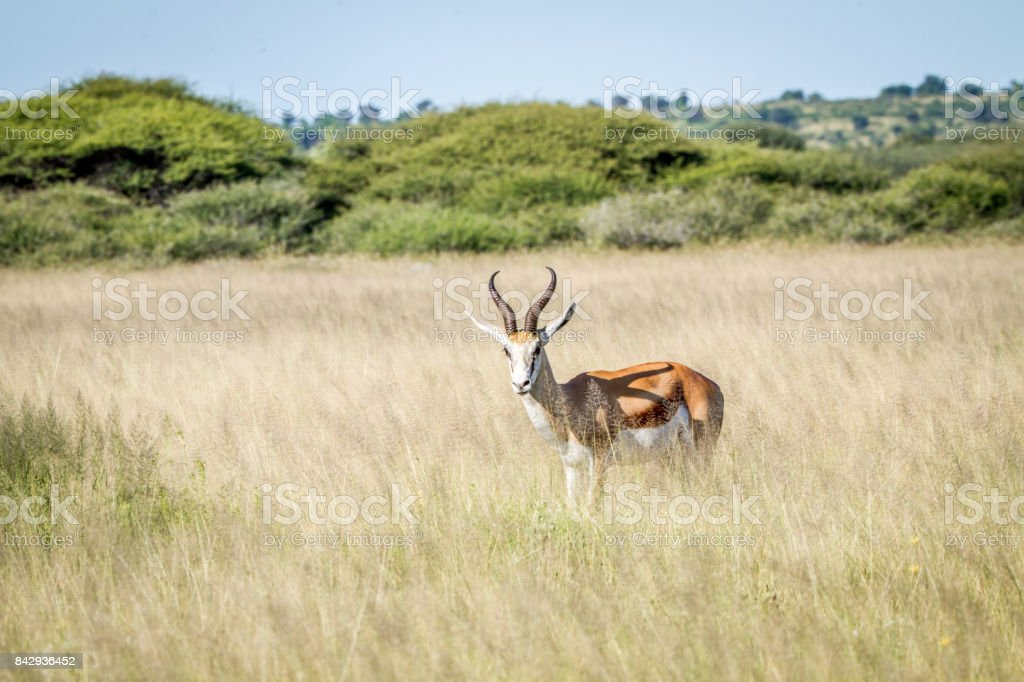 Springbok standing in the high grass. stock photo