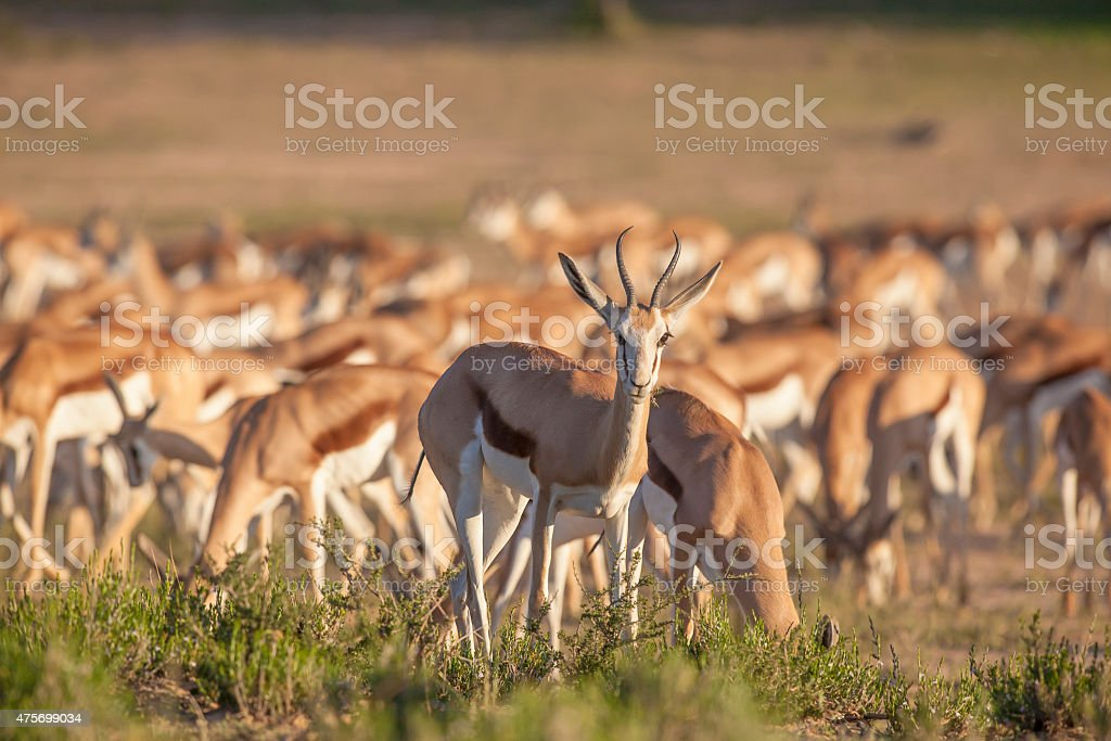 Springbok standing out from the herd stock photo