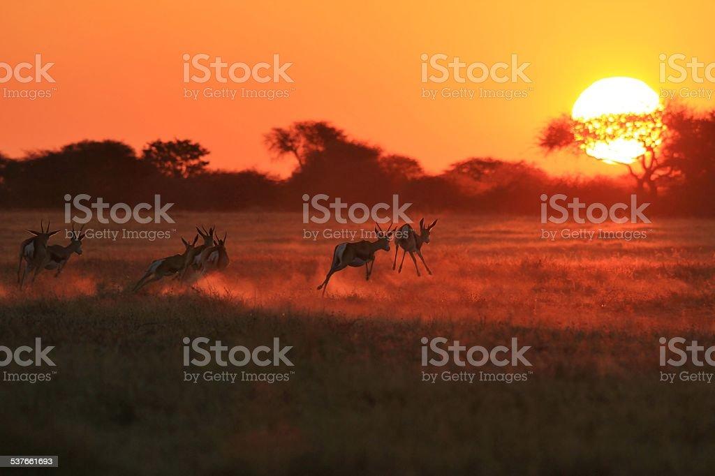 Springbok Sunset Run - African Wildlife stock photo
