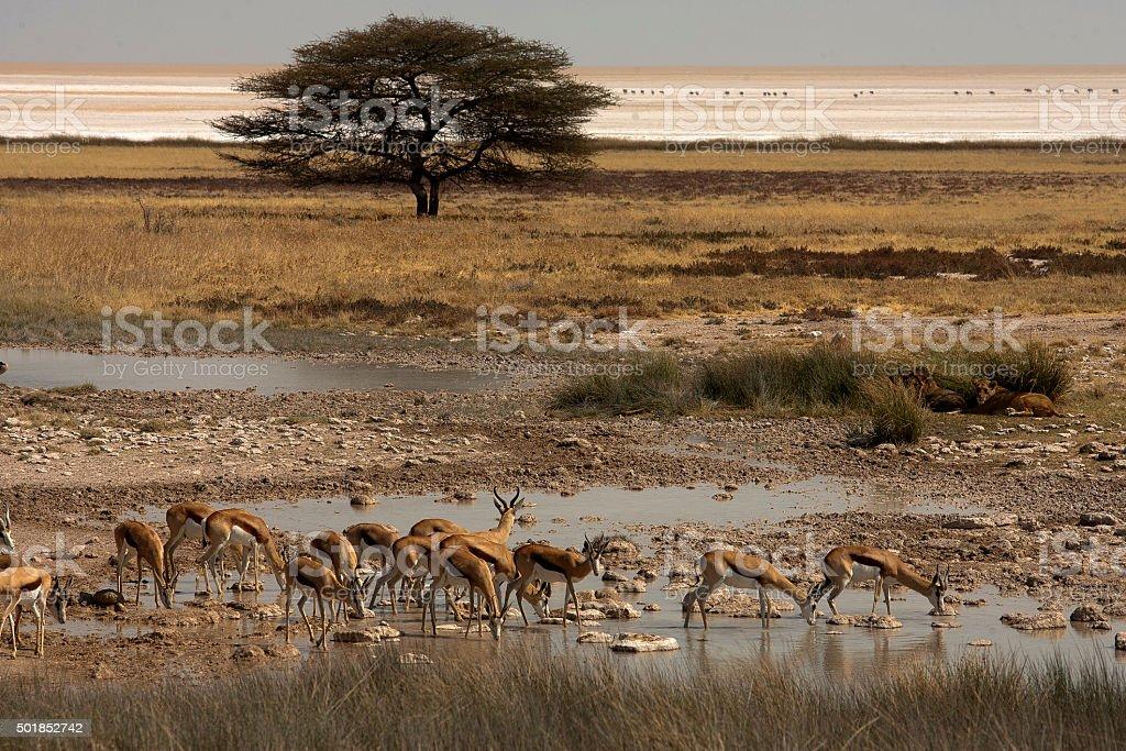 Springboks drinking at Salvadora waterhole, Etosha National Park stock photo