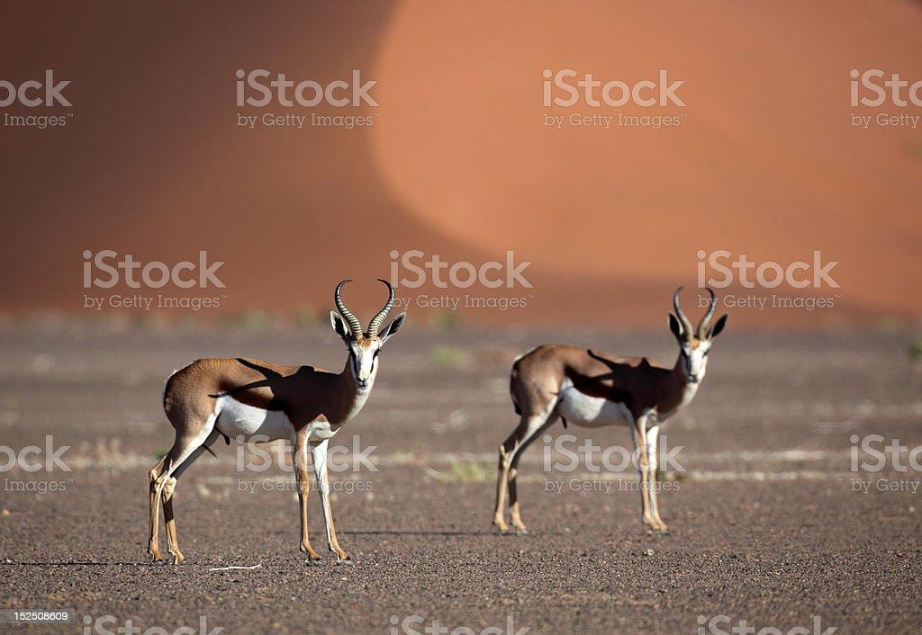 Springboks in front of red desert dunes, Sossusvlei, Namibia stock photo