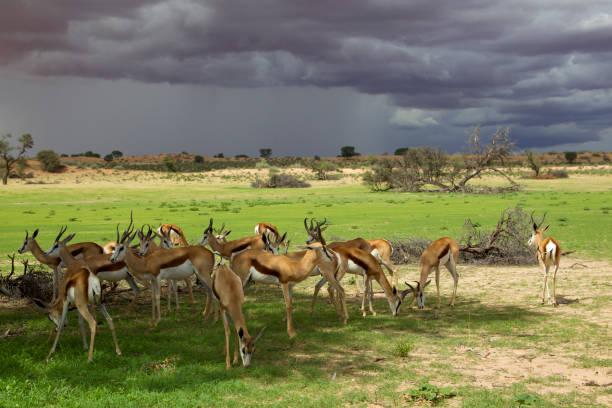 springboks i öknen. stormiga moln och gröna ängar är en del av detta underbara landskap, under regnperioden. - gemsbok green bildbanksfoton och bilder