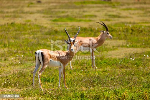 Springboks  in Serengeti National Park, Tanzania.