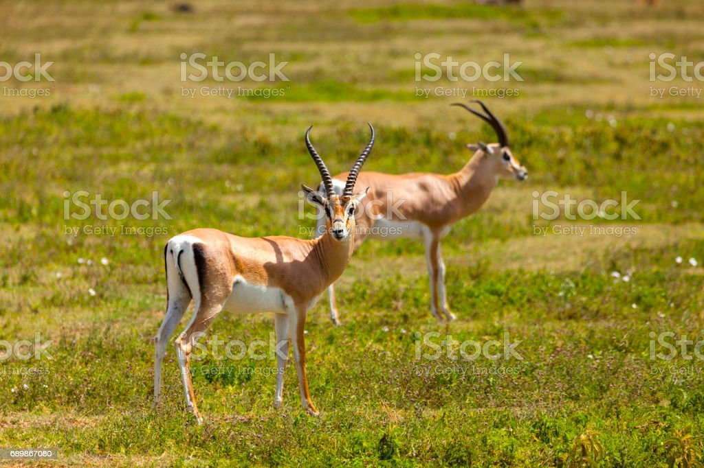 Springboks stock photo