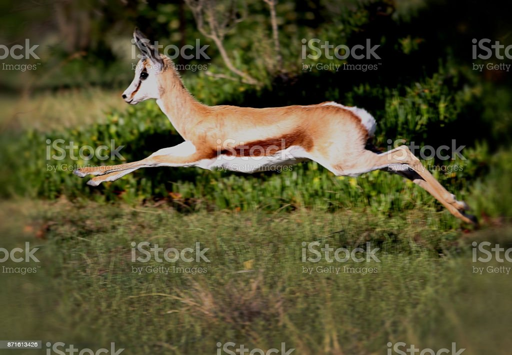 Springbuck jumps while running in a grassland stock photo
