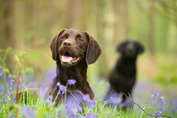 springer and labrador - canis lupus familiaris