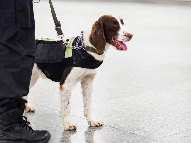 Springer explosive detection dog with chains in subway,  working dog, bomb-sniffing dog. stock photo