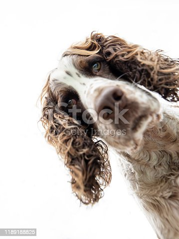 An inquisitive Springer Spaniel dog, peers down at the camera