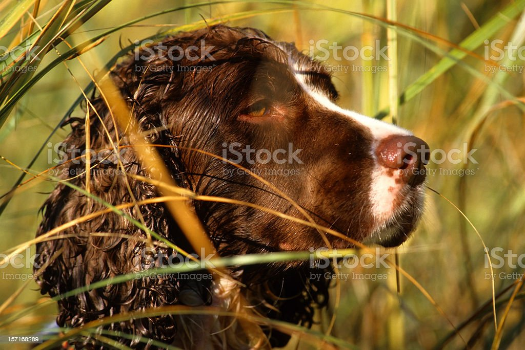 springer spaniel in a duck blind stock photo