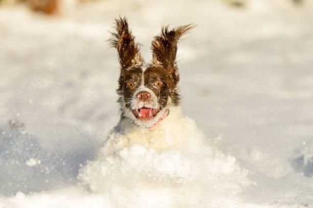 Springer Spaniel Haustier Hund Spaß im Winter Schnee – Foto