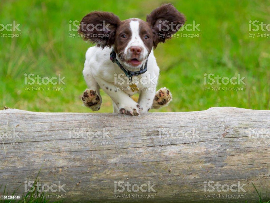 Cachorro Springer Spaniel de salto - foto de stock