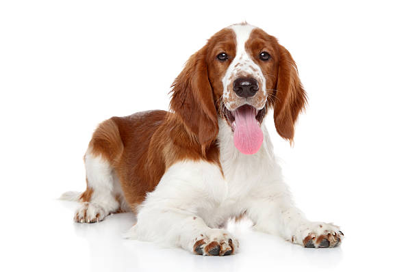 Welsh Springer Spaniel Stock Photos, Pictures & Royalty ...