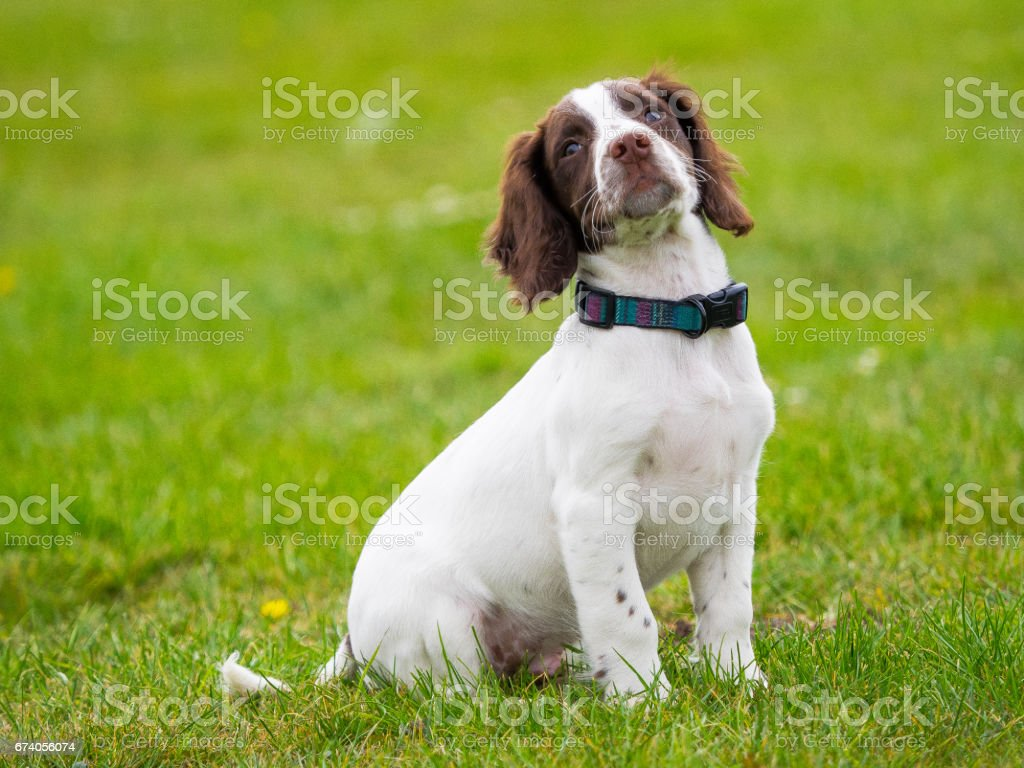 Springer Spaniel Puppy royalty-free stock photo