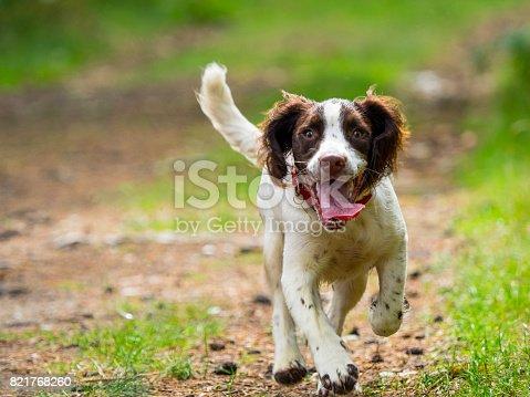 Happy Springer Spaniel Puppy walking