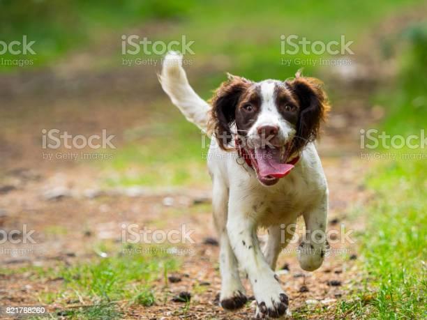 Springer spaniel puppy picture id821768260?b=1&k=6&m=821768260&s=612x612&h=rsz8y6y0u5wyv9jmusm7ypa46hekncuqcoywraoq6fq=