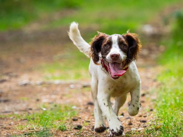 springer spaniel valp - hund skog bildbanksfoton och bilder