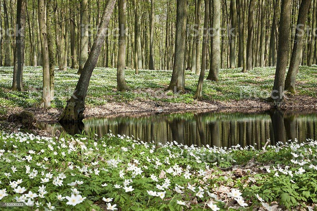 Springer white flowers at pond royalty-free stock photo